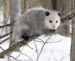 Opossums and Their Living Habits