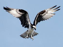 Fun Ospreys Quiz – FREE Interactive Kids Science Quizzes