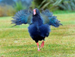 Running Takahe with Opened Feathers Image