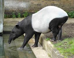 Tapirs – Where Do They Live