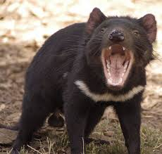 Tasmanian Devils Opens its Mouth Wide Image
