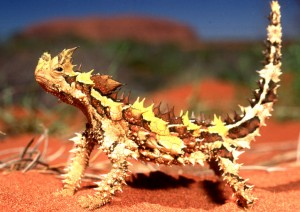 A Thorny Devil on Orange Sand Image - Science for Kids All About Thorny Devils