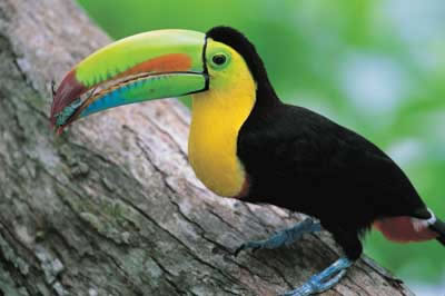 Toucans – The Birds With Long, Brightly Colored Bill