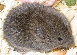Voles – The Expert Tunnel Makers