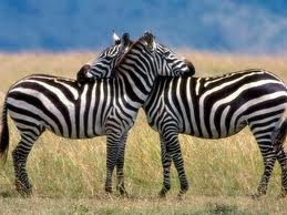 Zebras Cuddling Image - Science for Kids All About Zebras