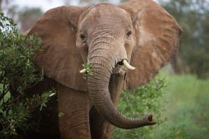 African Elephant Eating Plant Image