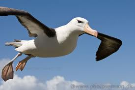 An Albatross Sea Bird Flying Image