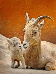 Bighorn Sheep Mother with Her Baby Image