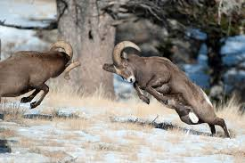 Fun Bighorn Sheep Quiz – FREE Interactive General Science Quiz for Kids