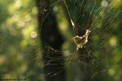 A Warbler Caught in a Spider Web Image