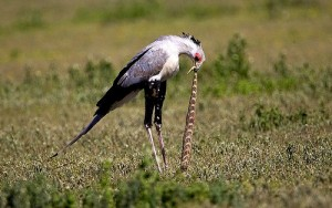 Secretary Bird Eating a Snake Image