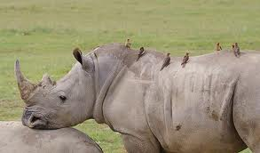 Birds Riding the Rhino's Back Image