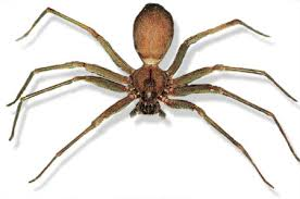 Brown Recluse Spider Image