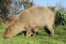 Mother Capybara with her baby Image