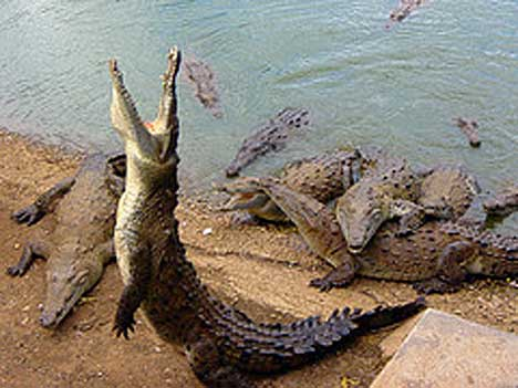 Feeding Time for Crocodiles Image - Science for Kids All About Crocodilians