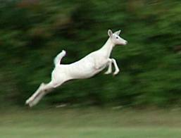 White Deer Jumping Image