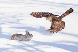 Hawk Catching a Rabbit in the Snow Image