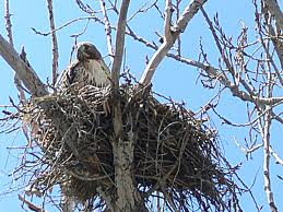 Hawk in a Nest Image