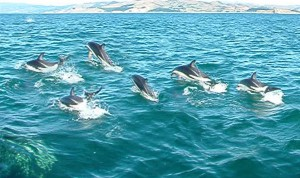 A Pod of Dolphins Swimming Together Image - All About Dolphins Fun Facts