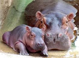 Mother Hippo with her Baby Image