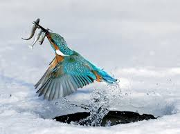 Kingfisher Catching Fish Image