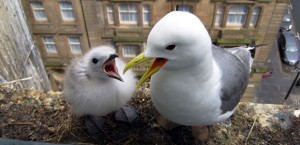 Kittiwakes in their Nest Image