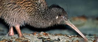 Kiwi Eating a Worm Image