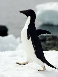 The Male Adelies Penguin Image