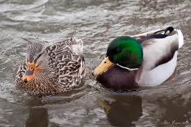 Ducks – The Adorable and Friendly Birds