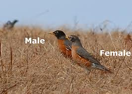 Male and Female Robins in the Field Image