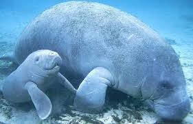 A Mother and Baby Manatee Together Image