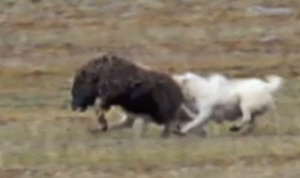 Musk Oxen Fight Image