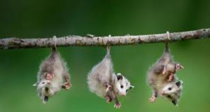 Opossums Hanging by its Tail Image