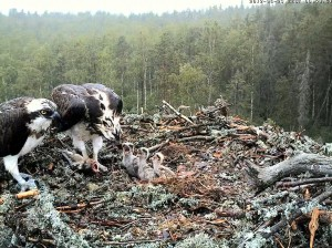 Ospreys and their Nest Image