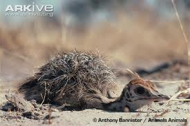 Ostrich Lying on the Ground Image