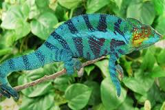 A Panther Chameleon on a Twig Image