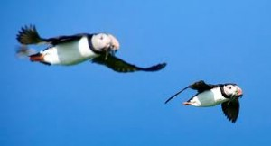 Puffins Flying with Food in their Beak Image