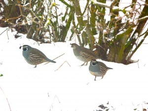 Quails in a Flock during Winter Image