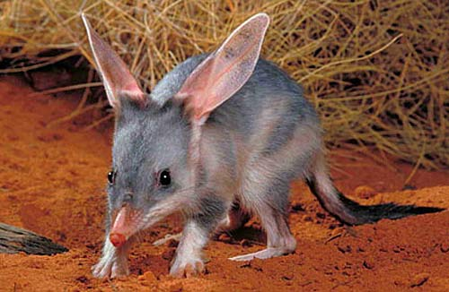 Fun Bilbies Quiz – FREE Interactive Science Quiz for Kids