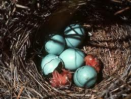 Blue Robin Eggs in the Nest Image
