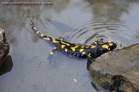 Salamanders and Newts