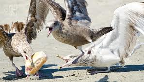 Seagulls Fighting over Food Image