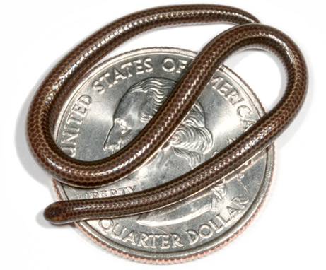 Smallest Snake on a Coin Image - Science for Kids All about Snakes
