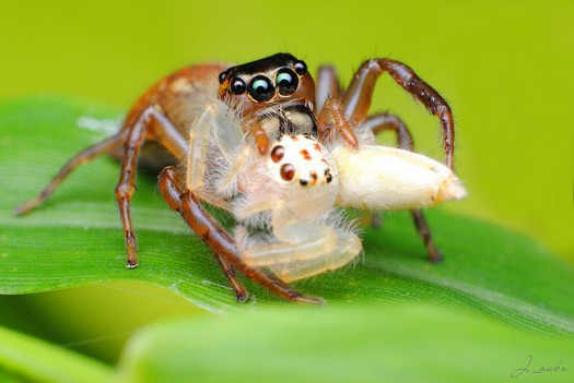 feamle-spider-eating-its-mate image