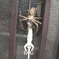 A Big Spider Eating a Lizard Image