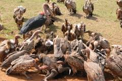 A Group of Storks Eating Dead Animals