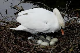 Swan with its Eggs Image
