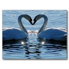 Kissing Swans Image - Science for Kids All About Freshwater Birds