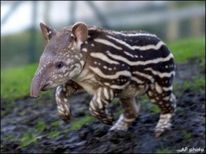Striped Baby Tapir Running Image