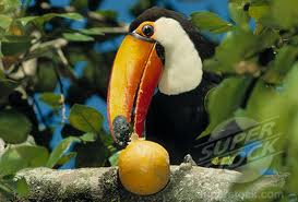 Toucan Eating a Fruit Image